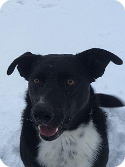 Border Collie/Husky Mix Dog for adoption in Montpelier, Idaho - Keeta
