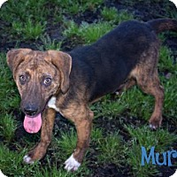 Hound (Unknown Type) Mix Dog for adoption in Livingston, Louisiana - Murphy
