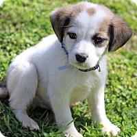 Adopt A Pet :: Brando - Waldorf, MD