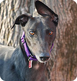 Greyhound Dog for adoption in Ware, Massachusetts - Surly