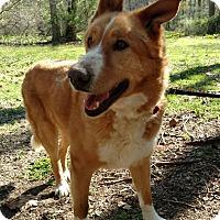Golden Retriever Mix Dog for adoption in Capon Bridge, West Virginia - Orion