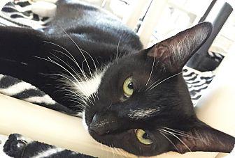 Domestic Shorthair Kitten for adoption in Boca Raton, Florida - Walter
