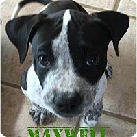 Adopt A Pet :: Maxwell - Sylvania, OH