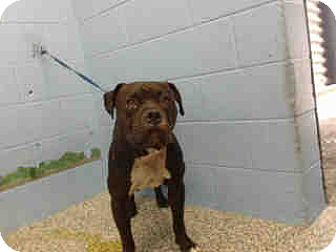 Pit Bull Terrier Dog for adoption in San Bernardino, California - URGENT ON 9/1  San Bernardino