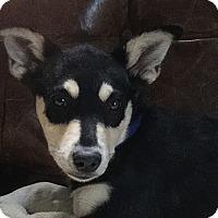 Shepherd (Unknown Type) Mix Puppy for adoption in Hainesville, Illinois - Sienna