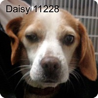Beagle Dog for adoption in baltimore, Maryland - Daisy