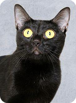 Domestic Shorthair Cat for adoption in Encinitas, California - Bear Bear