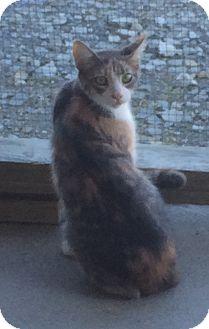 Domestic Shorthair Cat for adoption in Greensburg, Pennsylvania - Squirrel