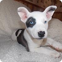 Adopt A Pet :: Bellami - Summerville, SC