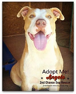 American Pit Bull Terrier Mix Dog for adoption in Queen Creek, Arizona - Angelo