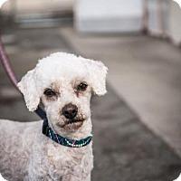 Adopt A Pet :: Maxdon - Oceanside, CA