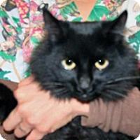Domestic Mediumhair Cat for adoption in Wildomar, California - Randy