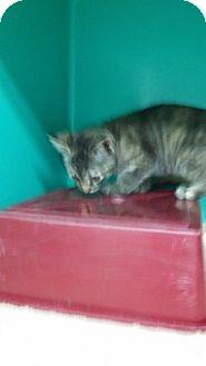 Calico Kitten for adoption in Maquoketa, Iowa - Mistletoe