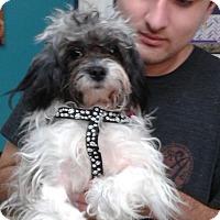 Adopt A Pet :: Sorbet - Thousand Oaks, CA