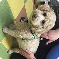 Adopt A Pet :: Coco - Ventura, CA