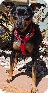 Miniature Pinscher Dog for adoption in Gilbert, Arizona - Peanut