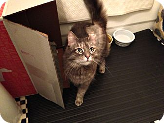 Domestic Shorthair Cat for adoption in Brooklyn, New York - Leila