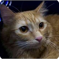 Domestic Mediumhair Cat for adoption in Chattanooga, Tennessee - Honey