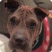 Adopt A Pet :: Dinozo - Barnegat Light, NJ