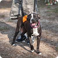 Adopt A Pet :: Macy - Ft. Myers, FL
