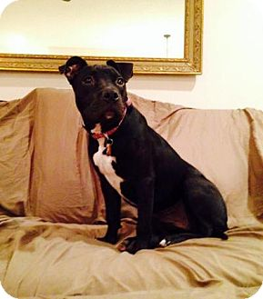 American Staffordshire Terrier Mix Dog for adoption in Dublin, Ohio - Maizey