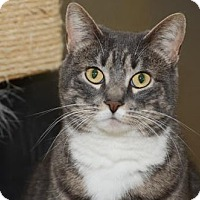 Domestic Shorthair Cat for adoption in Brick, New Jersey - Holly