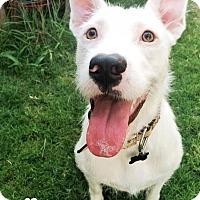 Adopt A Pet :: Livvy - San Antonio, TX