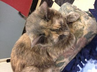 Domestic Mediumhair Cat for adoption in Fresno, California - Boo Boo