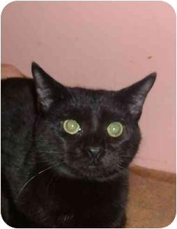 Domestic Shorthair Cat for adoption in Bedford, Massachusetts - Dennis