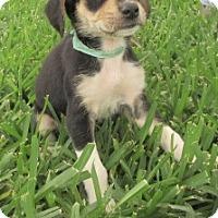 Adopt A Pet :: Banjo - Bedford, TX