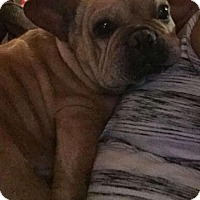 french bulldog rescue wi union grove wi french bulldog meet buttercup a dog for 7557