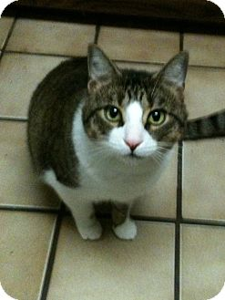 Domestic Shorthair Cat for adoption in Madisonville, Louisiana - Jay Dee