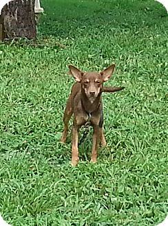 Miniature Pinscher/Chihuahua Mix Dog for adoption in castalian springs, Tennessee - Jasmine