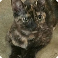 Domestic Shorthair Kitten for adoption in Yorba Linda, California - Chloe