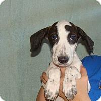 Adopt A Pet :: Thor - Oviedo, FL