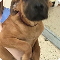 Adopt A Pet :: Mastiff pup - Pompton Lakes, NJ