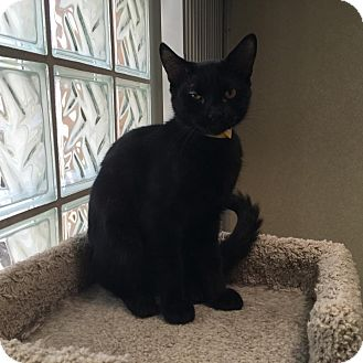 Domestic Shorthair Kitten for adoption in Westminster, California - Ferris