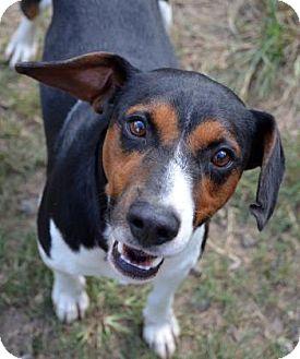 Foxhound Mix Dog for adoption in Ridgeland, South Carolina - Robert