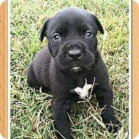 Pit Bull Terrier/Labrador Retriever Mix Puppy for adoption in Staunton, Virginia - Diesel