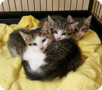 Domestic Shorthair Kitten for adoption in Perth Amboy, New Jersey - 3 Muskateers!