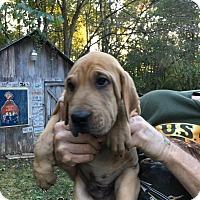 Adopt A Pet :: Copper - Hohenwald, TN