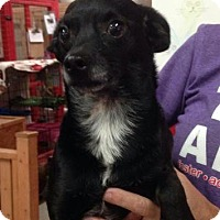 Chihuahua/Pomeranian Mix Dog for adoption in Centerville, Georgia - Bing