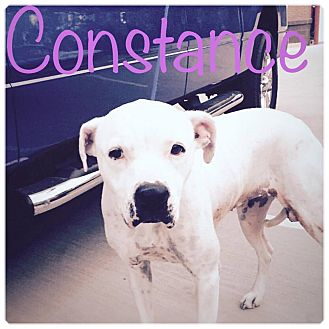 Boxer Mix Dog for adoption in Charlotte, North Carolina - CONSTANCE