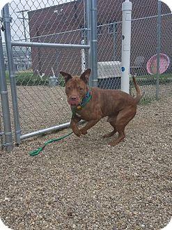 Terrier (Unknown Type, Medium)/Labrador Retriever Mix Dog for adoption in Fulton, Missouri - Will- Ohio