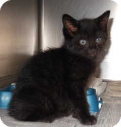 Domestic Shorthair Cat for adoption in Raritan, New Jersey - Taco