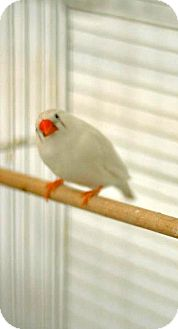 Finch for adoption in Shawnee Mission, Kansas - Snowball