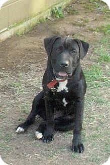 Shar Pei/Labrador Retriever Mix Dog for adoption in Moulton, Alabama - Jackie