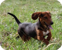 Dachshund/Beagle Mix Dog for adoption in Spring Valley, New York - Zaxby