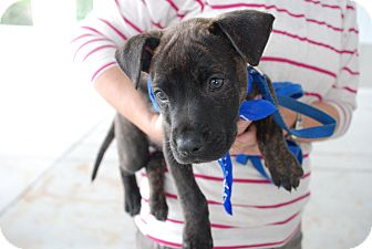 American Pit Bull Terrier Mix Puppy for adoption in Orlando, Florida - Sigmund