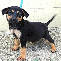 Adopt A Pet :: *'Tasha - PENDING - Westport, CT